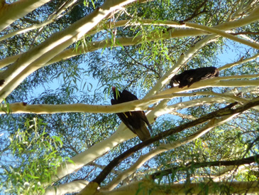 jotes-durmiendo_eucaliptus