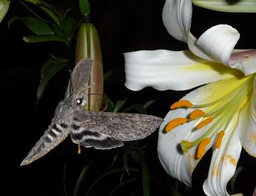 mariposa_lengua_enrulada